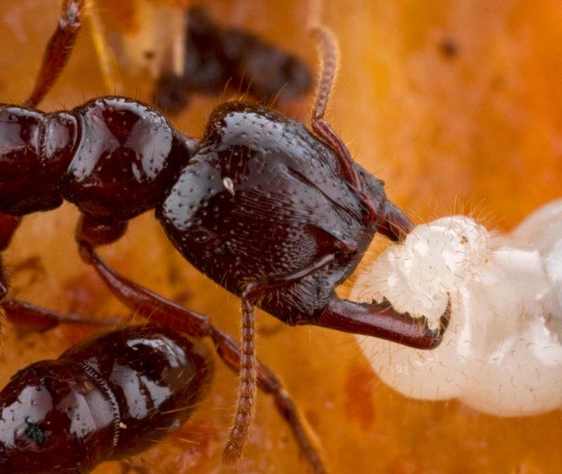 A legfürgébb állati testrész: a hangya-állkapocs